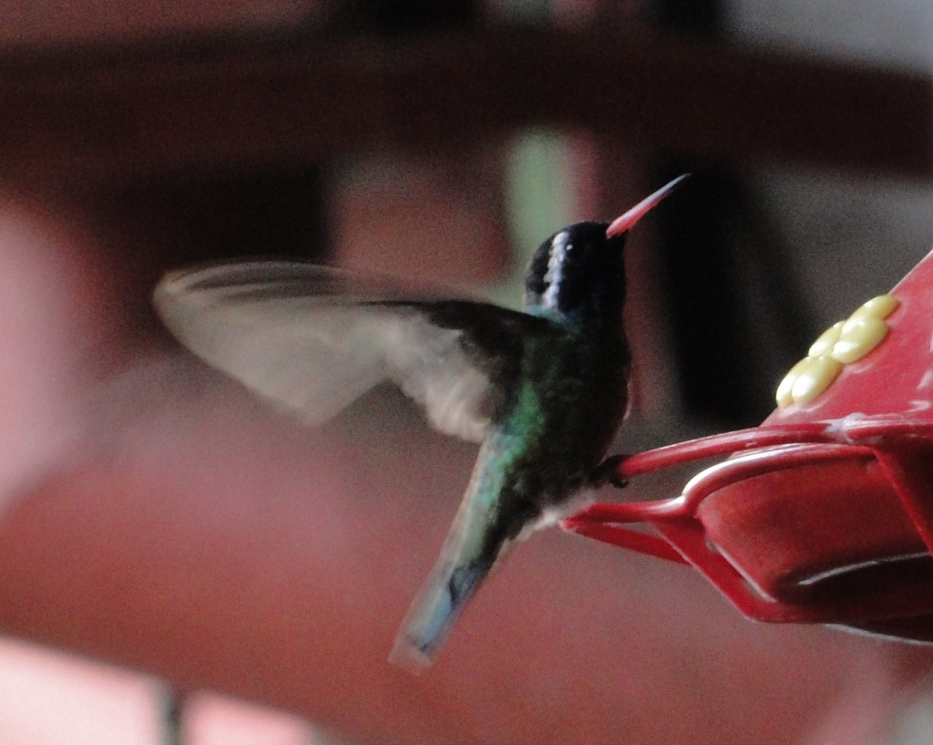 white-eared hummingbird at cabana suiza