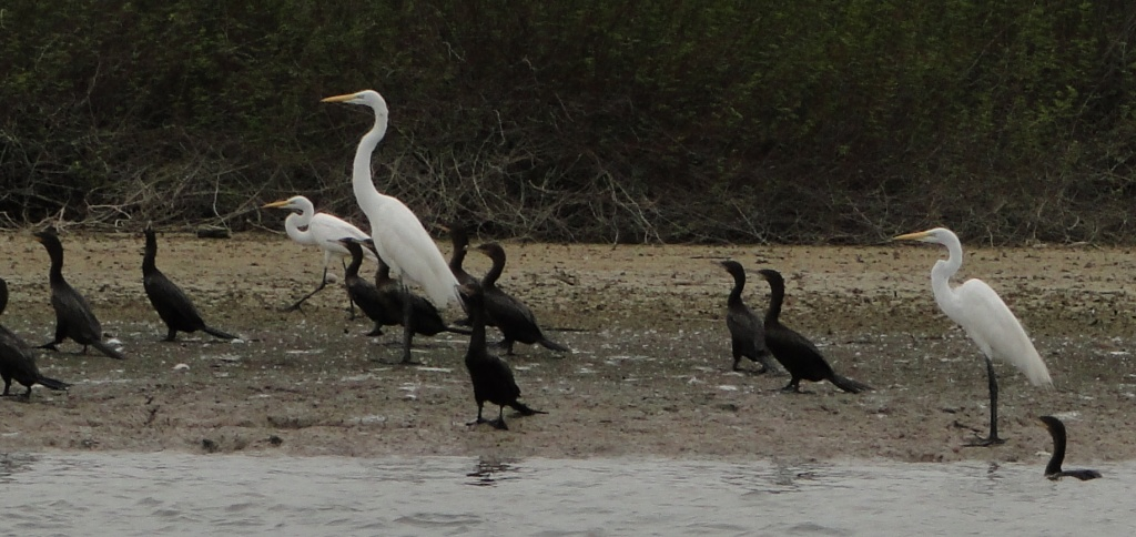 cormorants and egrets