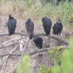 Black Vultures (plus one Turkey Vulture)