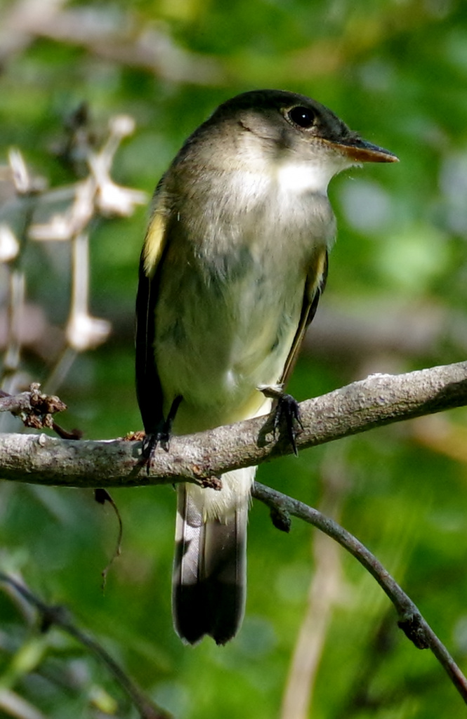 flycatchers are tough to ID