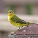 Yellow Warbler -- a straight-forward name